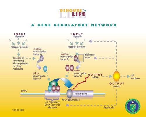 Image d'un réseau de régulation génétique